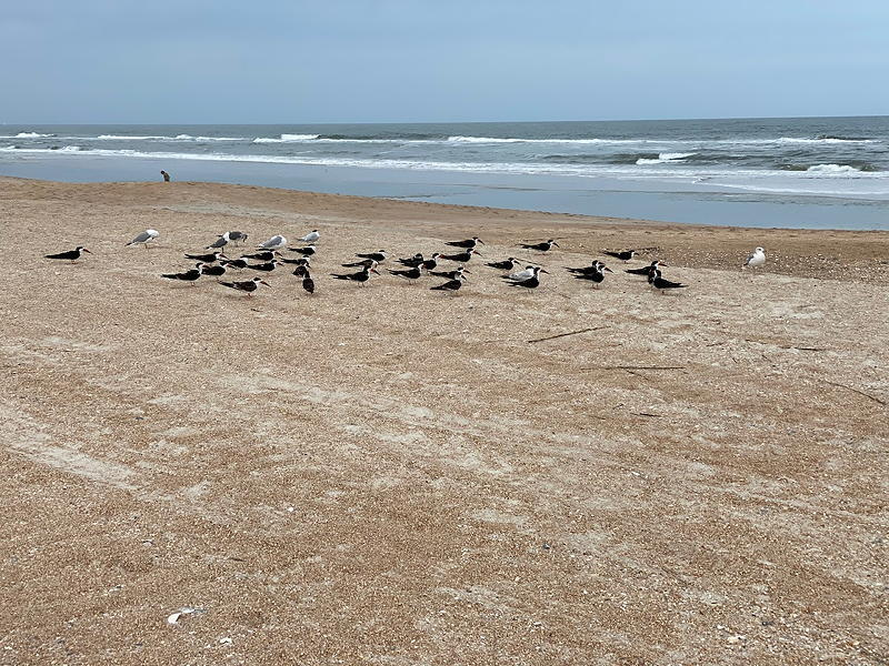 We saw quite a few birds on St. Augustine Beach in Florida. These appear to be Black Skimmers.